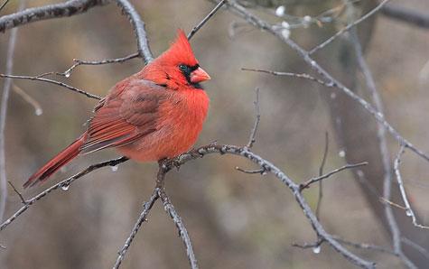 male cardinal on frozen branch