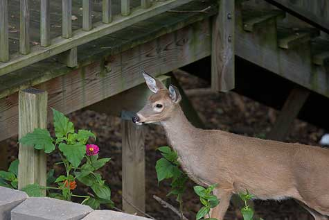 deer eating zinnias