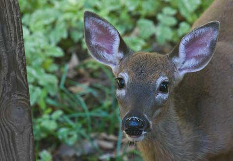 Deer in back yard