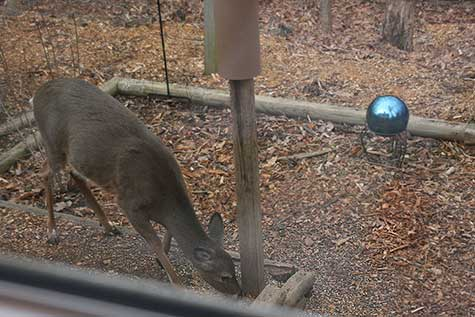 deer at bird feeder