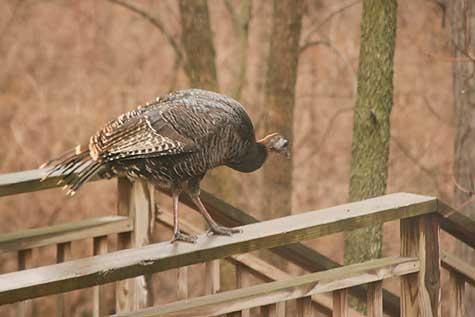 turkey in backyard