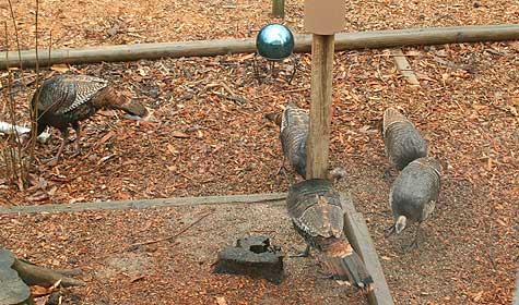 wild turkeys by bird feeder
