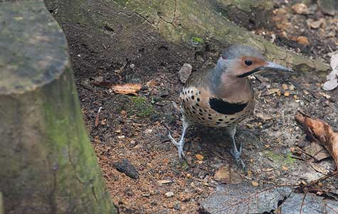 yellow shafted flicker front