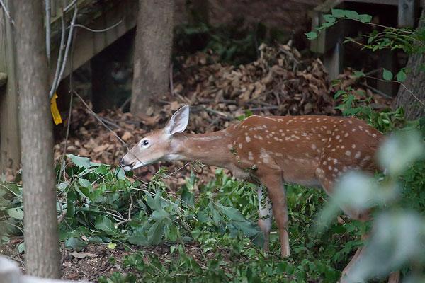 baby-deer-2246