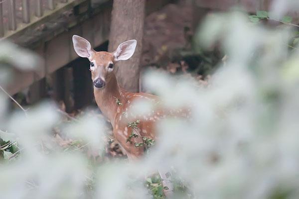 baby-deer-2250