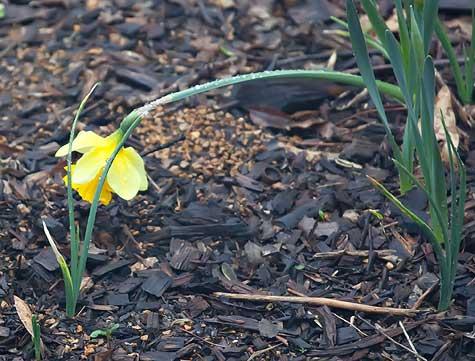 beaten-daffodil