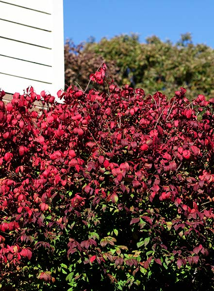 burning-bush-2552