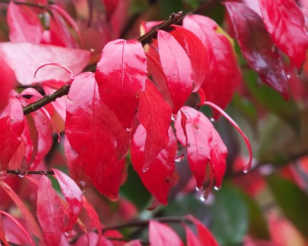 burning-bush-in-rain-2639