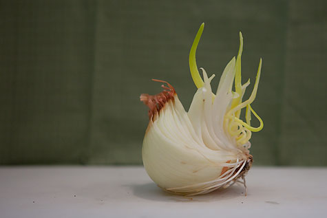 chihuly-onion-2