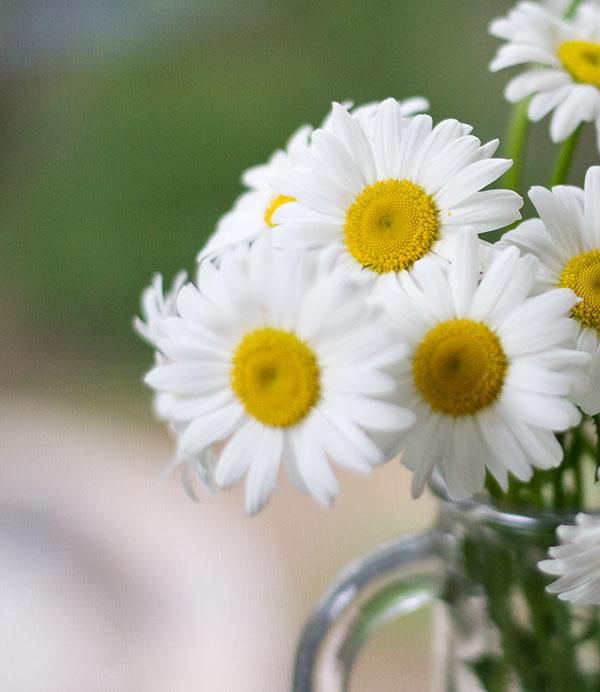 daisy-closeup