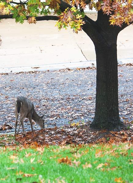 deer-in-street-2642