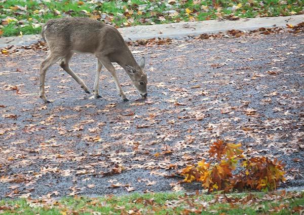 deer-in-street-2644