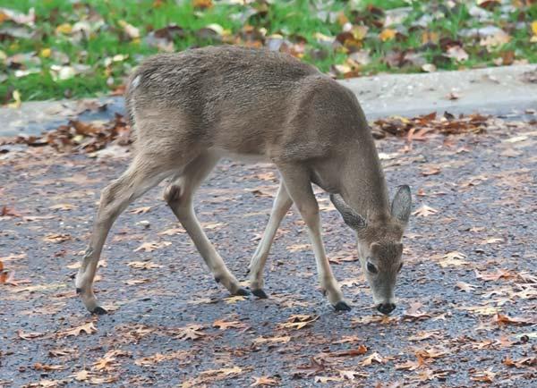 deer-in-street-2645
