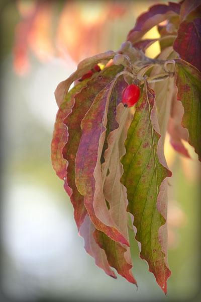 dogwood-tree-fall-2510