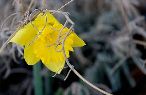 first-daffodil