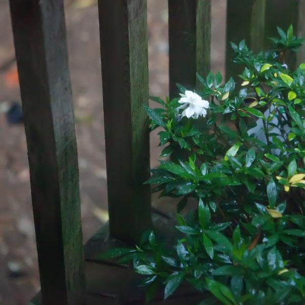 gardenia-2048