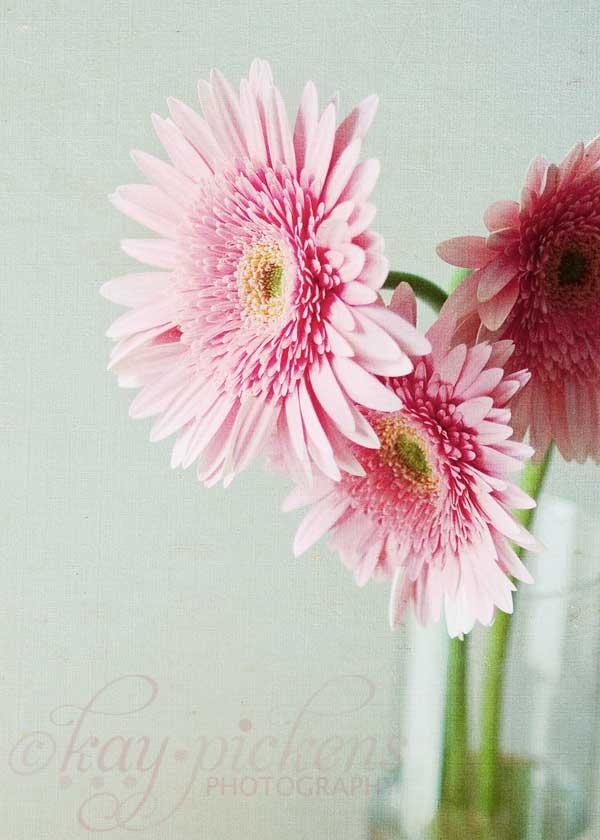 gerbera-daisy-2