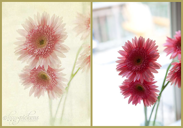 gerbera-daisy-in-window