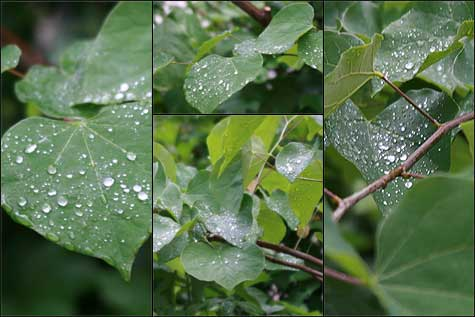 leaves-with-waterdrops