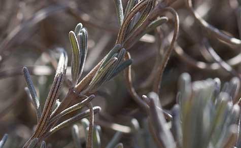 macro-lavendar