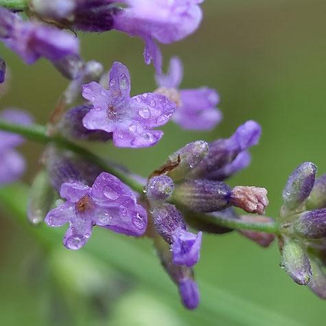 macro-lavender