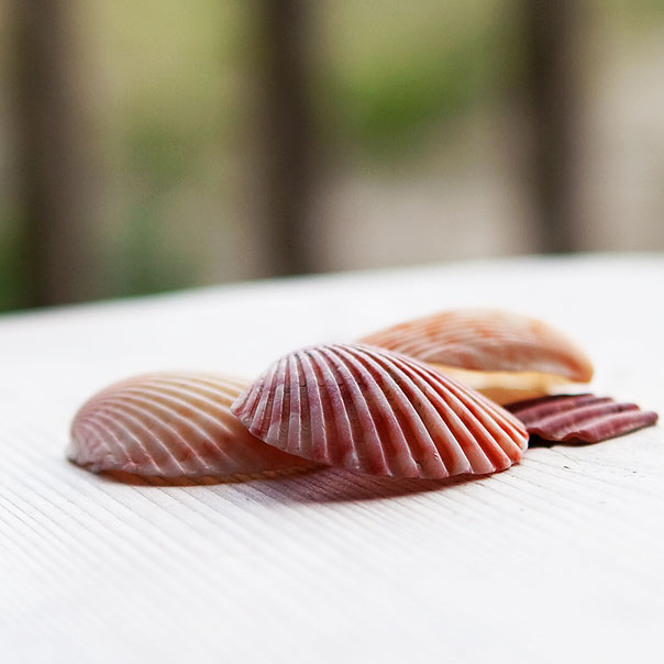 outer-banks-sea-shells