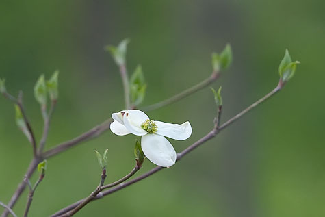 one-dogwood-bloom