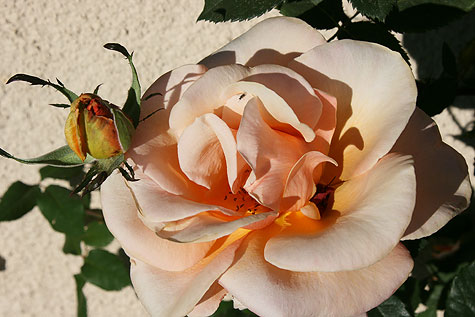 pale peach rose