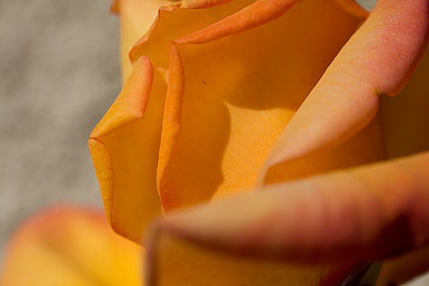 peach rose closeup