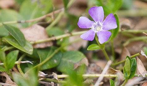 purple-flower-groundcover
