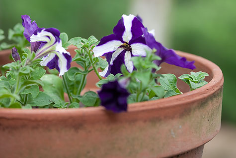 purple-petunias-1