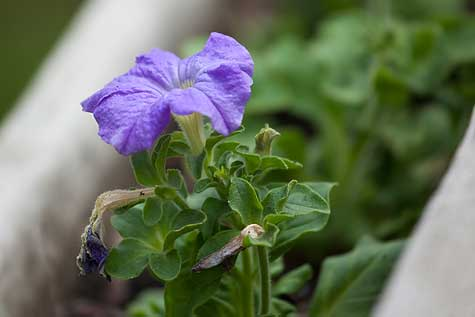 light purple petunia