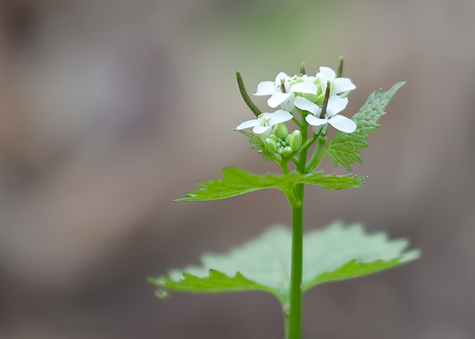 tiny-white-flower