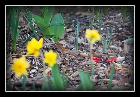 tulip-petals-1