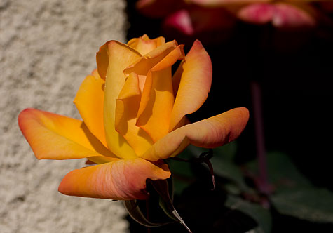 yellow rose