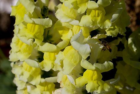 yellow snapdragon