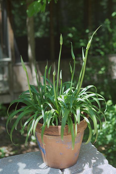 Agapnthus in planters