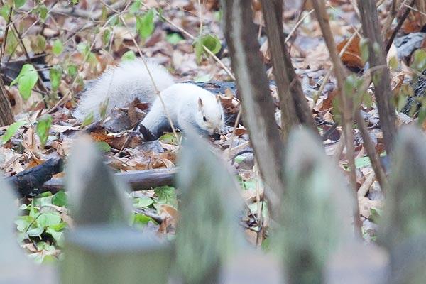 albino-squirrel-3066
