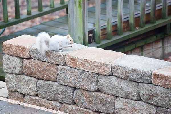 albino-squirrel-3067-2