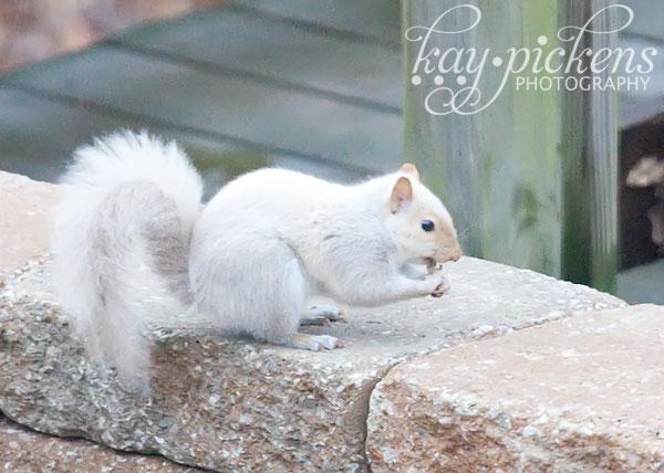 albino-squirrel-3067