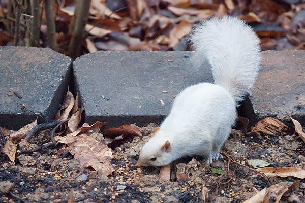 albino-squirrel-3072