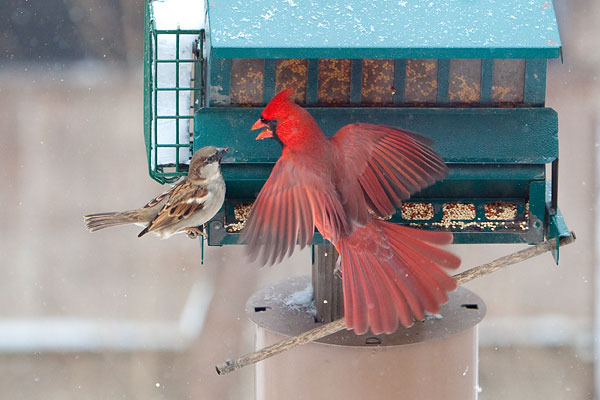 Male cardinal fighting with small bird