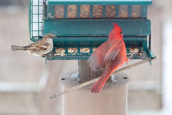cardinal and sparrow