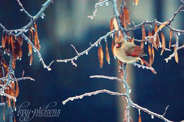 birds in ice storm