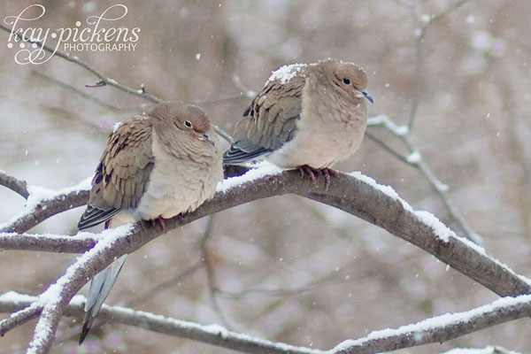 doves-in-snow