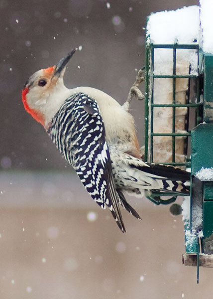 woodpecker-in-snow