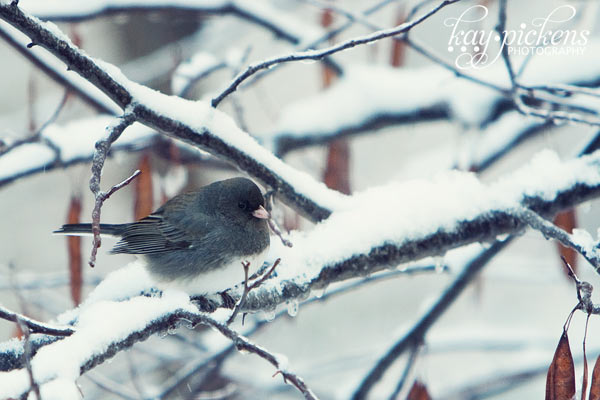 junco on icy branch