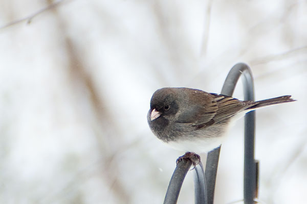 Junco bird in winter in St. Louis MO