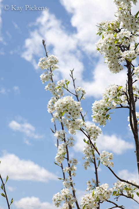 bradfor pear tree in bloom