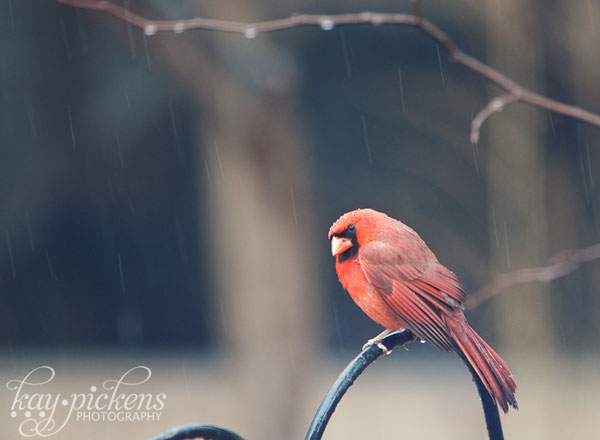 male cardinal in the rain at the feeder